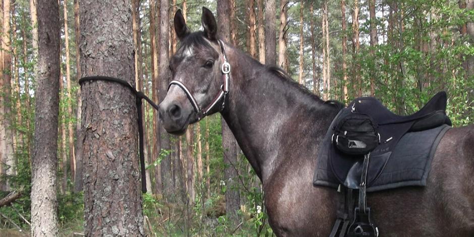 Binda upp häst i träd
